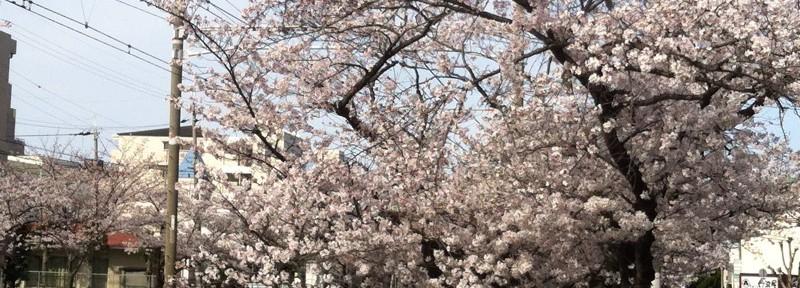 線路沿いの桜